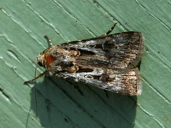 Agrotis munda - Brown or Pink Cutworm