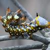 Psalidostetha banksiae - Banksia Moth (larva)