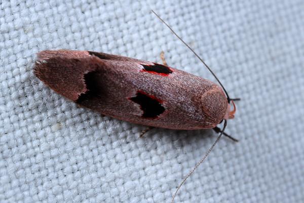Acanthodela erythrosema