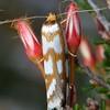 Myrascia bracteatella