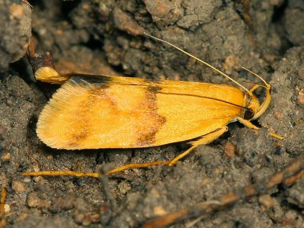 Eulechria tolmera