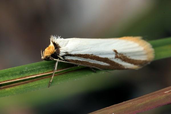 Philobota calamaea