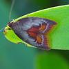 Epicurica laetiferanus