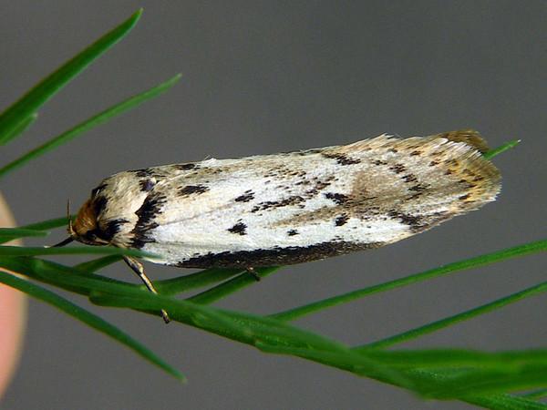 Philobota lysizona