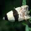 Zonopetala glauconephela