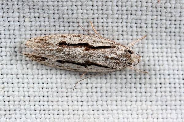 Eulechria sp. (E. encratodes or E. xeropterella)