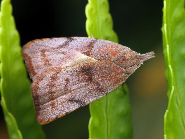 Tortricopsis euryphanella