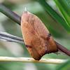 Tortricopsis uncinella