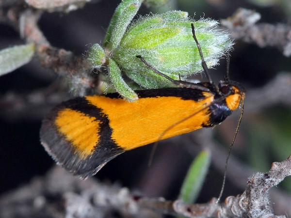 Philobota ancylotoxa