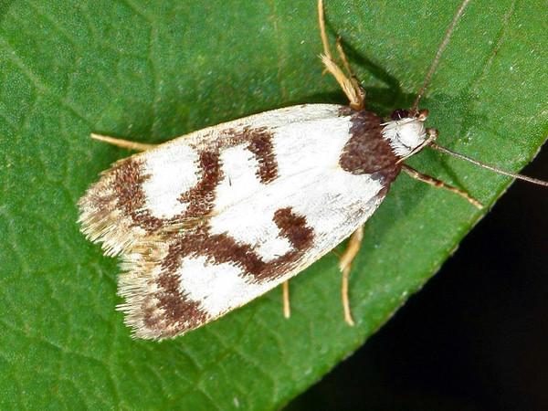 Eulechria sigmophora