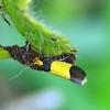 Heteroteucha dichorella