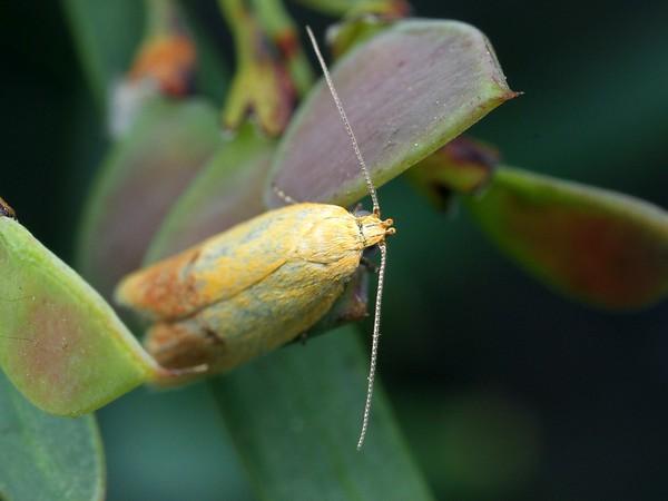 possibly Eulechria hemisphaerica