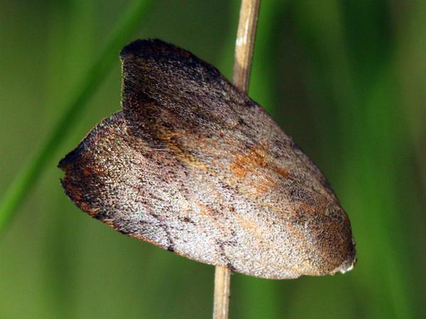 Tortricopsis semijunctella