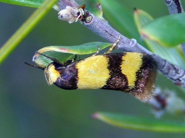 Chrysonoma fascialis