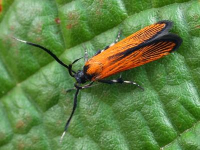 subfamily Stathmopodinae