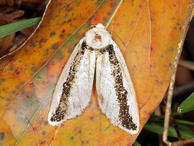 Oenosandridae