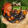 Metura elongatus - Sauners Case Moth (larva)