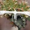 Wheelaria spilodactylus