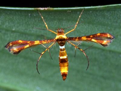 Pterophoridae - Plume Moths