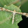 Trichoptilus ceramodes