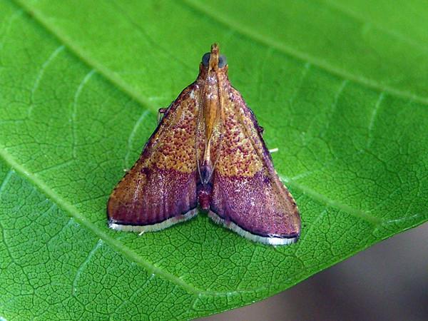Endotricha pyrosalis