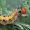 Salma pyrastis (larva)