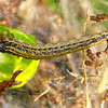 Orthaga thyrisalis (larva)
