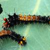 Opodiphthera eucalypti - Emperor Gum Moth (larva)