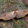 Opodiphthera helena - Helena Gum Moth