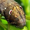 Theretra letreillei (larva)