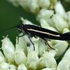 Unknown sp. (Gelechiidae?)