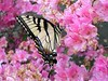 Even the body of the Eastern Tiger Swallowtail butterly is striped like a tiger.<br /> <br /> 5-17-04