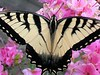 "This lovely butterfly is a male <a href=""http://www.fcps.k12.va.us/StratfordLandingES/Ecology/mpages/eastern_tiger_swallowtail.htm"" target=""_blank"">Eastern Tiger Swallowtail</a> <i>(Pterourus glaucus)</i>.  5-17-04"