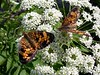 This Pearl Crescent looks different from the others. <br /> <br /> 6-26-04