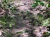 "A <a href=""http://www.npwrc.usgs.gov/resource/distr/lepid/bflyusa/mx/607.htm"">Silver-spotted Skipper</a> <i>(Epargyreus clarus)</i> butterfly lights on a forest path.  5-17-04"