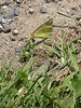 Orange Sulphur butterfly gathers nectar from a tiny plant at the edge of a path.<br /> <br /> 7-12-04
