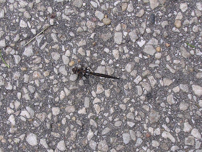 """A female <a href=""""http://www.gloriamundipress.com/dragonflies/id90.htm"""" target=""""_blank"""">Slaty Skimmer</a> <i>(Libellula incesta)</i> dragonfly.  <br>5-20-04"""