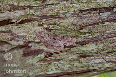 This moth is well camouflaged by the close resemblance between the patterns and colors on its wings to those of the surface upon which it rests.  I never would have seen it, except that it flew right past me before landing on the trunk of this tree.
