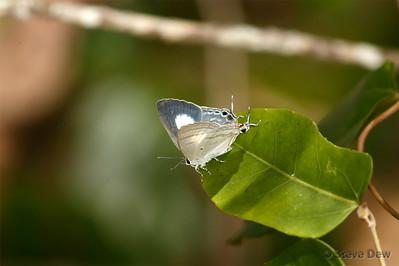 Black-spotted Flash - Female