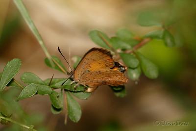 Bright Copper - Female