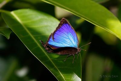 Bright Oak-blue