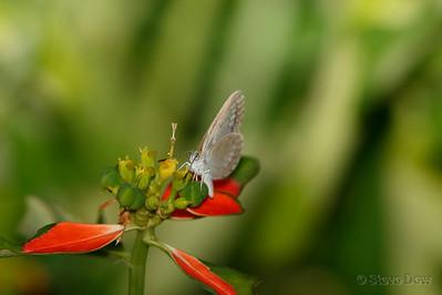 Common Grass-blue