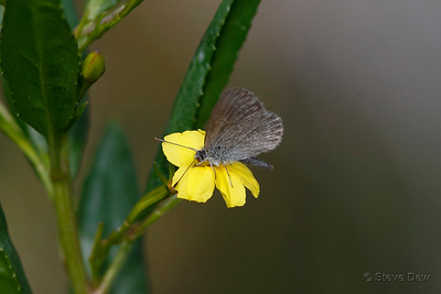 Common Grass-Blue on Hop Goodenia