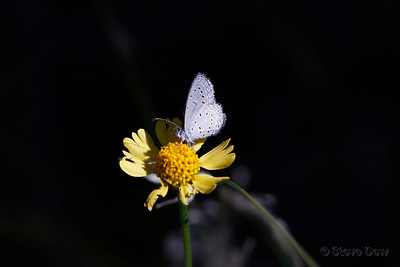 Dainty or Tiny Grass-blue