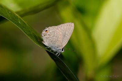 Dark Cilliate-Blue Butterfly