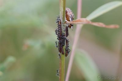 Imperial Hairstreak Larvae & Attendant Ants