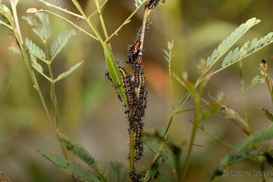 Imperial Hairstreak Larvae, Pupae & Attendant Ants