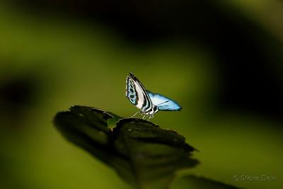 Large Green-banded Blue