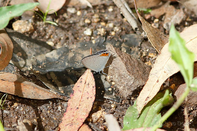 Orange-tipped Pea=-blue