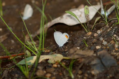 Orange-tipped Pea-blue